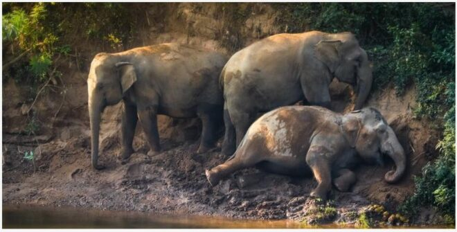 5 facts about Asian elephants